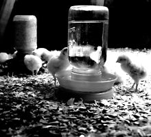 Baby Chicks by Paula Bielnicka