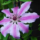 """Nelly Moser' Clematis by Marjorie Wallace"
