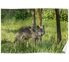 Timber wolf in summer Poster