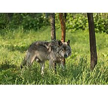 Timber wolf in summer Photographic Print