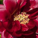 Peony - Illini Belle by Tracey  Dryka