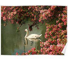 Spring time Swan framed by blossom Poster