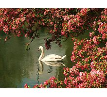 Spring time Swan framed by blossom Photographic Print