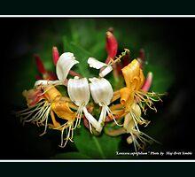 """""""Lonicera Caprifolium"""" by Maj-Britt Simble"""