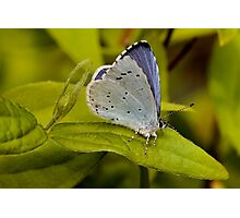 Holly Blue Butterfly Photographic Print