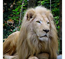 Eyes of a Hunter - White Lion Photographic Print