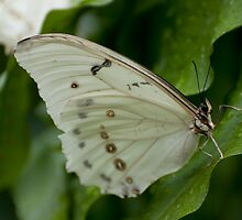 White Morpho by Tracey  Dryka