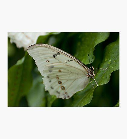 White Morpho Photographic Print