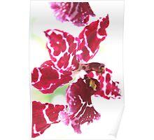 Red & white flower 8705 Poster