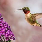 male ruby throat hummingbird 10 2015 by RosiesPhotos