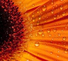 The Gerbera Series by aspectimages