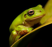 The Green Tree Frog Series by aspectimages