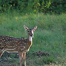 Spoted deer (F) by madhusoodanan