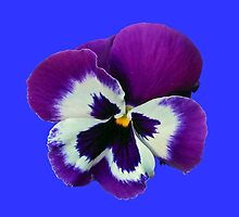 Purple and White Pansy on Blue Background by BlueMoonRose