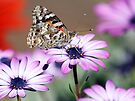 Butterfly on Purple by yolanda