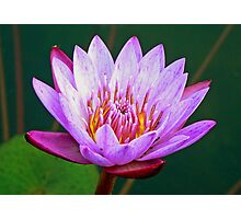 Water-Lily at Victoria Falls Photographic Print