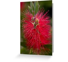 ~ callistemon  ~ Greeting Card