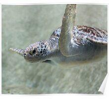 Green sea turtle swimming Poster