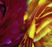 Ranunculus by Emma Sterling