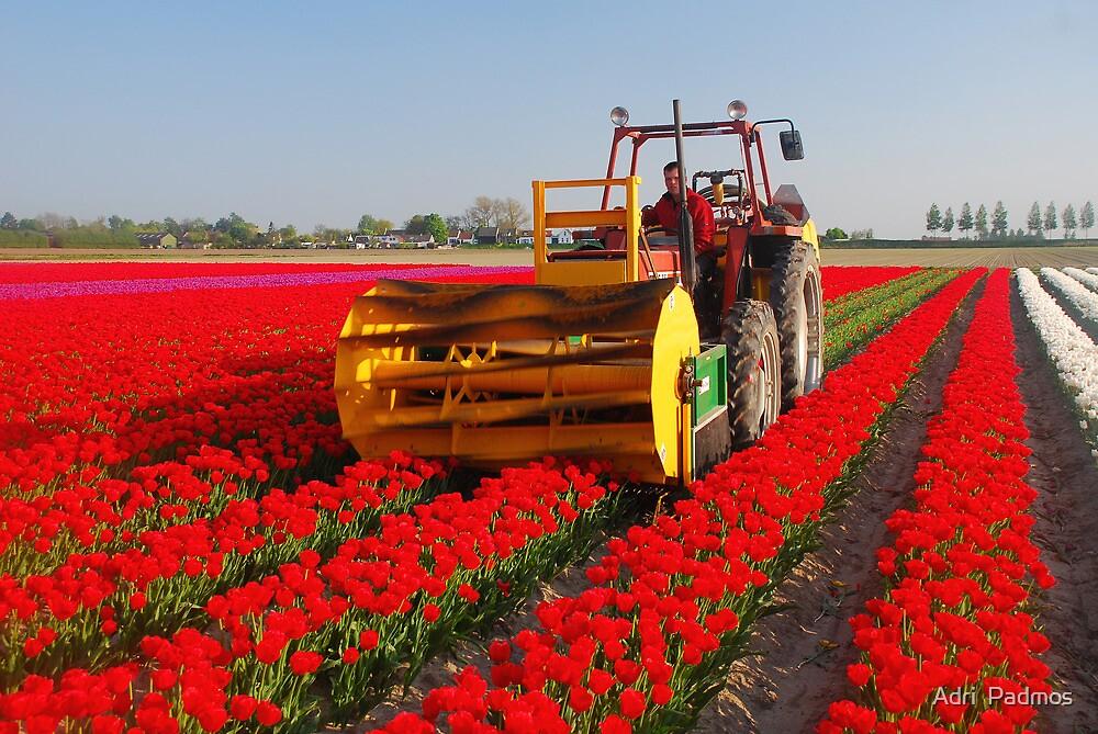 The end of the tulip season..... by Adri  Padmos