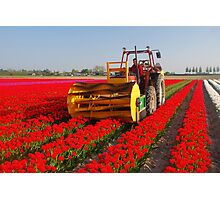 The end of the tulip season..... Photographic Print