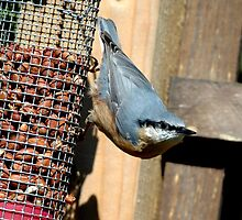 nuthatch by Grandalf