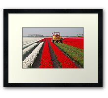The end of the tulip season......2 Framed Print