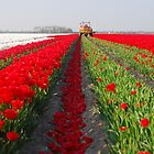 The end of the tulip season.....3 by Adri  Padmos