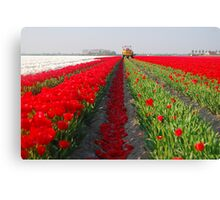 The end of the tulip season.....3 Canvas Print