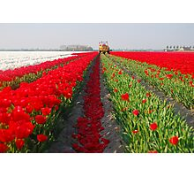 The end of the tulip season.....3 Photographic Print