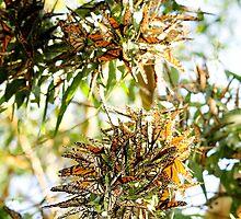 Butterfly Burst. by Steve Chapple