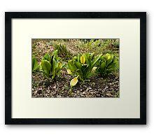 Skunk Cabbages Framed Print