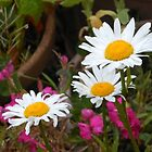 Marguerite Trio by kathrynsgallery