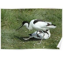 The Avocet Poster