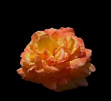 Glowing Orange Rose by Kathryn Jones
