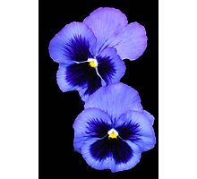 Pretty Pansy Pair Photographic Print