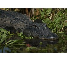 American Alligator - headshot Photographic Print