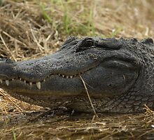 American Alligator - grin by JimSanders