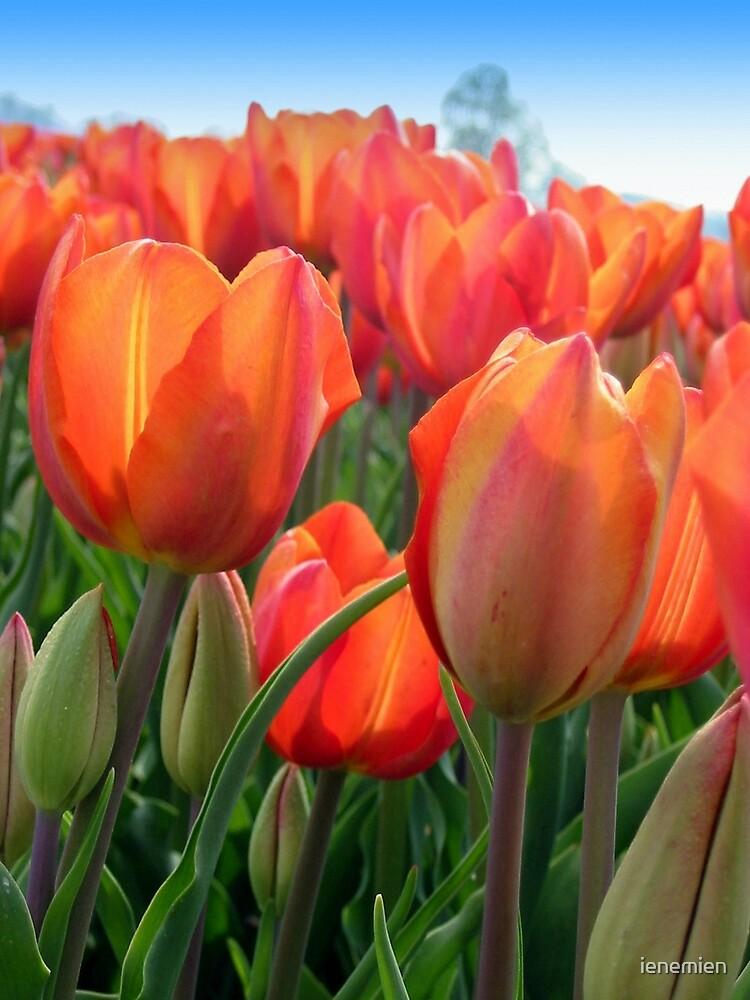 Tulips in Orange by ienemien