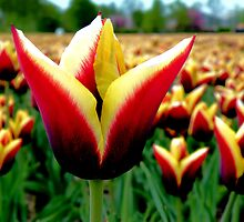 Tulip, Tulip, Tulips by Jo Nijenhuis