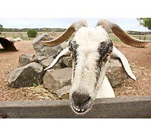 Goofy The Goat Photographic Print