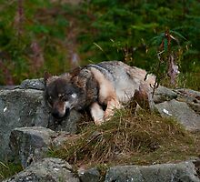 Let Sleeping Wolves Lie by SunDwn