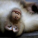 Not A Care In The World: Pig-tailed Macaque Portrait, Borneo  by Carole-Anne