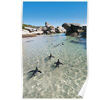 Penguins at Boulders Beach  Poster