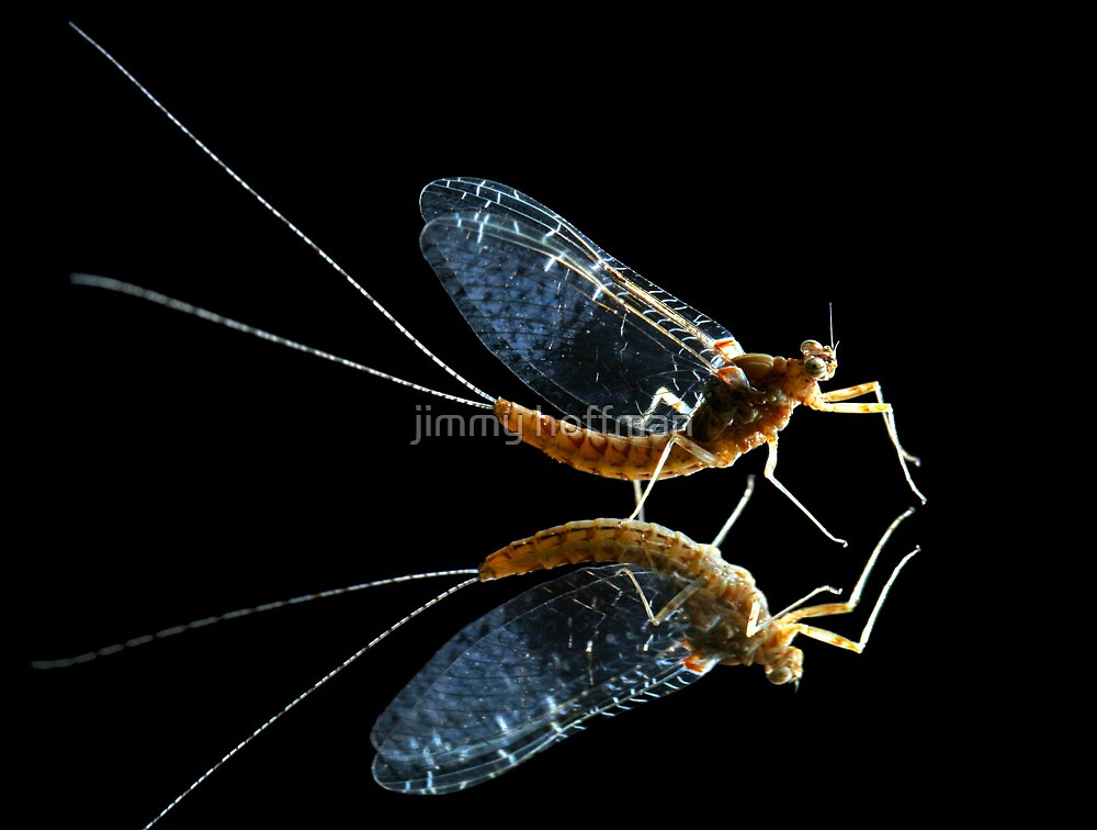 Mayfly reflection by jimmy hoffman