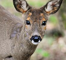 Roe doe by Alan Mattison IPA