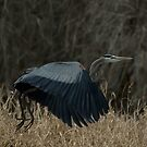 Great Blue Heron in flight by JimSanders