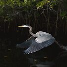 Great Blue Heron in take-off by JimSanders