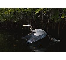 Great Blue Heron in take-off Photographic Print