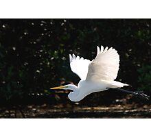 Great Egret in flight Photographic Print